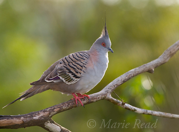 Crested Pigeon (Ocyphaps lophotes), Atherton Tableland, Queensland, Australia. Also called Geophaps lophotes.