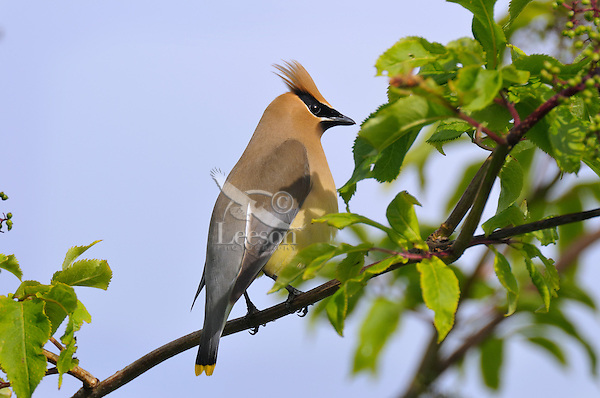 Cedar Waxwing (Bombycilla cedrorum) perched in elderberry tree.<br /> Pacific Northwest.
