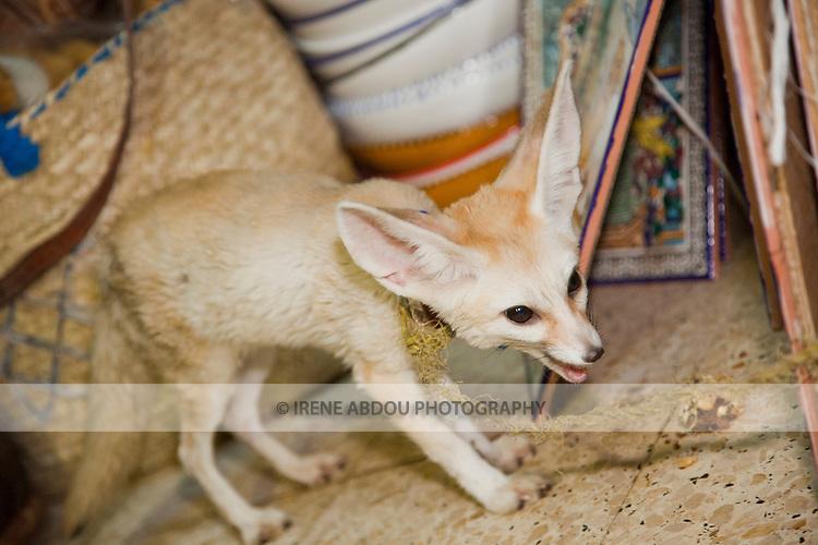 Dog / fox in a souvenir shop in Tozeur, Tunisia