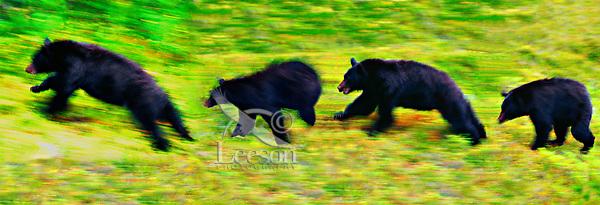 Black Bear composite.