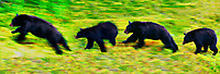 Black Bear composite.