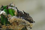 Costa's hummingbird chicks in nest.  D. Braemar, Rancho Mirage, CA.  Frank Balthis