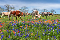Longhorn Herd in Wildflowers - Longhorns out in a pasture with bluebonnets and indian paintbrush wildflowers. Alway a fun catch when you have texas wildflowers and longhorns together in the Texas hill country.   Now getting them to stay in the flowers is not easy as they seem to have a mind of their own.  We have come to appreciate these impressive cattle for their hugh horns and mostly docile behavior.  However on this trip the white longhorn with his nose in the wildflowers well he charged the fence a little later on took us back a bit. In all the years we have photograph longhorns they have been very docile so it was the first charge by what we believe to be a young bull.  It may have been the calf coming to the fence that cause it to be protective. It never charged again.   We were very thankful that their was a fence between us. This is why you have to keep in mind that more people die from horse and cow in texas than pit bulls.  Something to keep in the back of your mind at all times especially where there are bulls in the herd.  This group appear to be mostly steers but I believe the white one is a young bull maybe explaining the charge and all the huffing and foot stomping that went on.  In any case it will make us more careful as man times when we have been around longhorns there has been no fence between us  and them.
