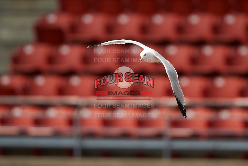 Seagull flies around the stadium during a Buffalo Bisons game against the Louisville Bats on June 23, 2016 at Coca-Cola Field in Buffalo, New York.  Buffalo defeated Louisville 9-6.  (Mike Janes/Four Seam Images)