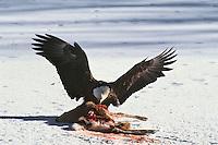 Bald Eagle feeding on deer carcass in winter.  Western U.S.