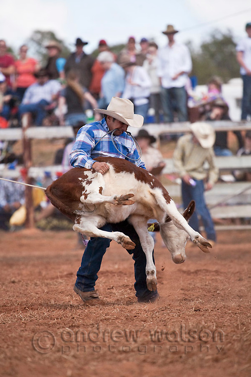 Cowboy calf-roping at the Mt Garnet Rodeo.  Calf-roping involves the competitor on horseback first lassoing the calf and then dismounting to throw the calf and bind its legs.  Mt Garnet, Queensland, Australia