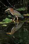 Green Heron, Everglades NP, Florida, USA