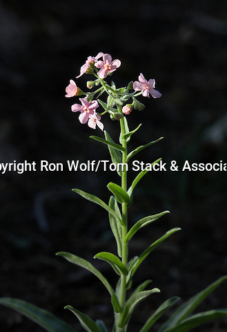 Pink Stickseed (Hackelia mundula). Crane Flat area. Yosemite National Park. Mariposa Co., Calif.