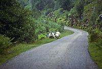 Sheep along a country road, Scotland