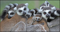 BNPS.co.uk (01202 558833)<br /> Pic: DaveTownend/BNPS<br /> <br /> ***Please Use Full Byline***<br /> <br /> Close knit group...<br /> <br /> The Ring tailed Lemurs of Longleat are celebrating the arrival of baby Casper, the first new born this year in the safari parks fledgling troup of rescued primate's.<br /> <br /> And it's no surprise that his doting mother is constantly cuddling her baby - as he is one of the most endangered primates in the world.<br /> <br /> The rest of the highly social group all play there part in looking after the new baby, and keeper Beverly Evans said 'Its quite remakable to see the affection and care that the troup show towards the new arrival'.<br /> <br /> Lemurs are struggling to survive in their native Madagascar because of hunting and habitat loss, so any new offspring gives fresh hope.