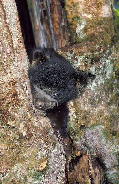 Black Bear cub (Ursus americanus) hides in maple tree stump..Summer. Pacific Coast.Autumn. ..