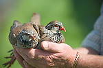 Partridge Breeding