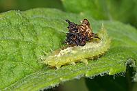 Grüner Schildkäfer, Larve, Käferlarve, hat sich mit Material aus der Umgebung getarnt, Tarnung, Cassida viridis, green tortoise beetle, tortoise beetle, shield beetle, Blattkäfer, Chrysomelidae