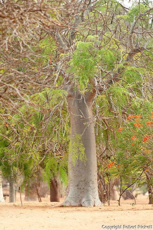 Baobab Tree, Adansonia za, Ifaty, Madagascar, Near Threatened on the IUCN Red List,