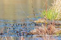 00685-00609 American Bittern (Botaurus lentiginosus) eating tadpole in wetland Marion Co. IL
