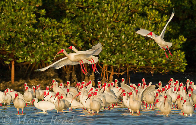 Flock of White Ibis (Eudocimus albus) in breeding plumage, taking flight from the water's edge of the mangrove-covered island that forms their rookery, Tampa Bay, Florida, USA