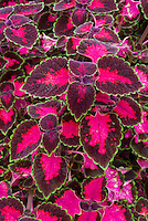 Solenostemon (Coleus) 'Lord Falmouth', annual ornamental foliage plant in shades of red and maroon purple with picotee green edge