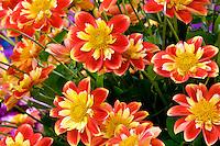 Dahlias variety Pooh. Swan Island Dahlia Farm. Oregon