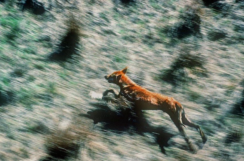 Aerial of Australian Dingo on the Northern Floodplains