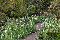 Lupinus microcarpus Chick lupine,  Whitewhorl lupine flowering along pathway in Santa Barbara Botanic Garden