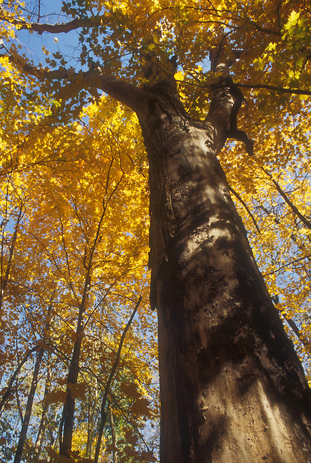 A towering maple tree shows the strength of these magnificent trees at O'Hara Woods Nature Preserve in Romeoville, Illinois in Will County