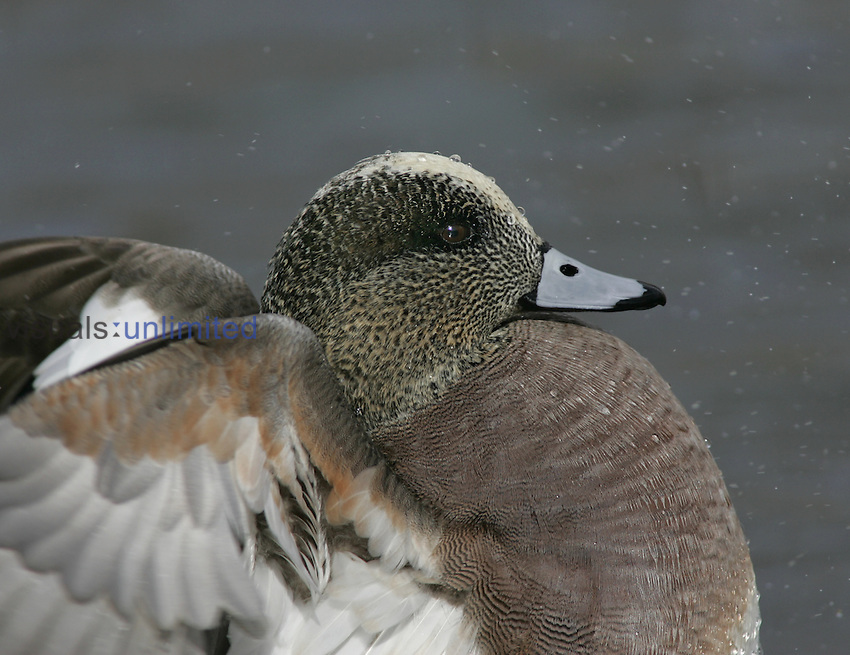 American Wigeon flapping its wings ,Anas americana,, North America.