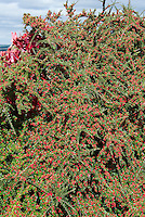 Cotoneaster horizontalis Berries in fall fruit