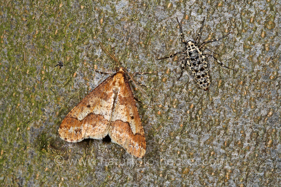 Großer Frostspanner, Männchen und Weibchen, Erannis defoliaria, Phalaena defoliaria, Hybernia defoliaria, Mottled Umber, male and female, Forstschädling, Spanner, Geometridae, looper, loopers, geometer moths, geometer moth