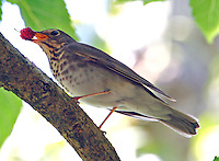 Adult Swainson's thrush eating mulberry
