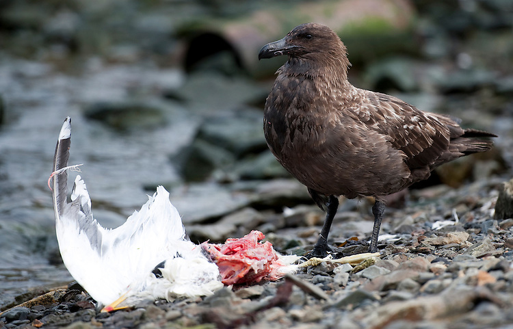 Brown Skua (Stercorarius antarcticus), eating a gull near Grytviken, South Georgia