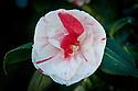Camellia sasanqua 'Peach Blossom', late March.
