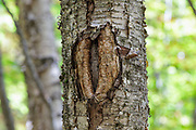 October 2017 - A man-made tree wound on a yellow birch tree along the Mt Tecumseh Trail in New Hampshire. This wound is from man not using proper protocol to remove a painted trail marker (blaze) from the tree. This blaze was painted on the tree in 2011, and then improperly removed from the tree in the spring of 2012. The bark, where the blaze was, was cut and peeled away creating a tree wound.