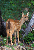 Blacktailed Deer fawn, Olympic National Park Washington