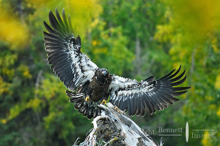A juvenile bald eagle comes in for a landing along Alaska's upper Kenai River.