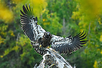 A juvenile bald eagle comes in for a landing along Alaska's upper Kenai River.