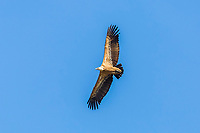 Griffon Vulture (Gyps fulvus), Monfragüe National Park, UNESCO biosphere reserve, Extremadura, Spain, Europe
