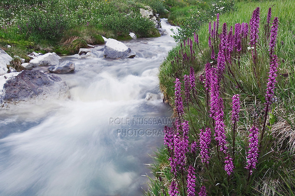 Mountain stream and wildflowers,Elephanthead lousewort,Elephant's Head,Pedicularis groenlandica, Ouray, San Juan Mountains, Rocky Mountains, Colorado, USA
