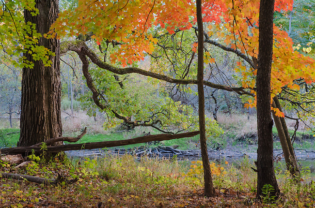 Ryerson Woods shows off autumn colors in a backwater area of the DesPlaines River, Lake County, Illinois