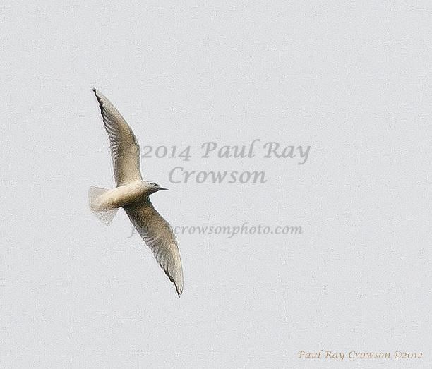 Herring Gull flyover