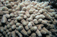 Finger Coral, Porites sp., with polyps extended