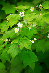 Thimbleberry, Rubus parviflorus, is a Northwest native shrub growing to roughly 5 feet tall, with white flowers in May-July and crimson red edible berries in June-August.