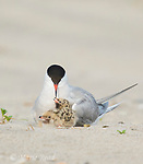 Common Tern (Sterna hirundo) brooding two chicks, Nickerson Beach, Long Island, New York, USA