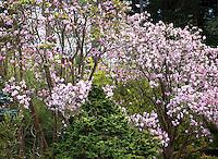 Winter flowering tree, Dawson's magnolia (Magnolia dawsoniana) San Francisco Botanical Garden with Chamaecyparis obtusa