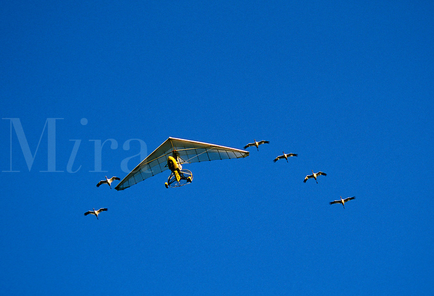 Whooping Crane, Grus americana, following ultralight aircraft