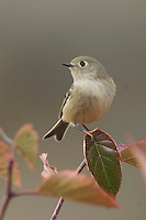 Ruby-crowned Kinglet, Regulus calendula, adult in Black Hawthorn, Grand Teton NP,Wyoming, September 2005