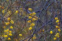 Acacia merinthophora - Zigzag Wattle flowering Australian shrub; Wild Ridge Organics
