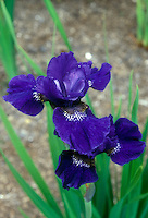 Siberian Iris Prussian Blue in spring flowers