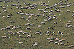 A herd of caribou with many calves graze on the arctic plains .