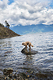 CANADA, Vancouver, British Columbia, a dog stands on a rock at Brigade Bay on Gambier Island, in the Howe Sound with the Britannia Range in the distance