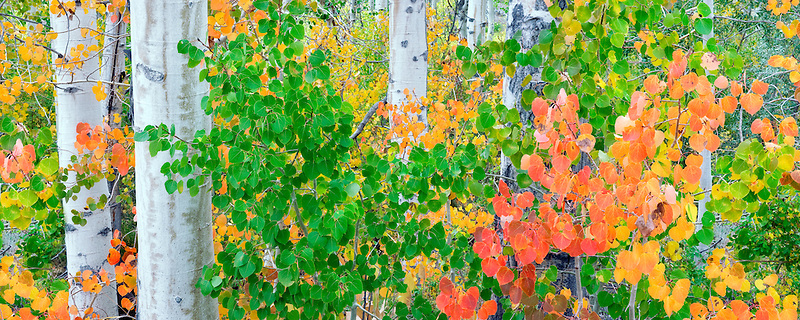 Red,yellow green and orange aspens leaves. Inyo National Forest. California